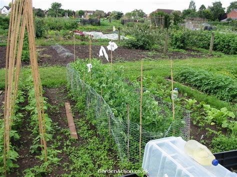 vegetable garden ireland how to grow peas in irelands vegetable gardens