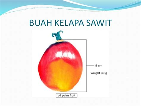 Minyak Kelapa Dunia buah minyak kelapa sawit