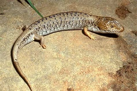 what do lizards eat and drink in backyards blue tongue lizard care my pet warehouse