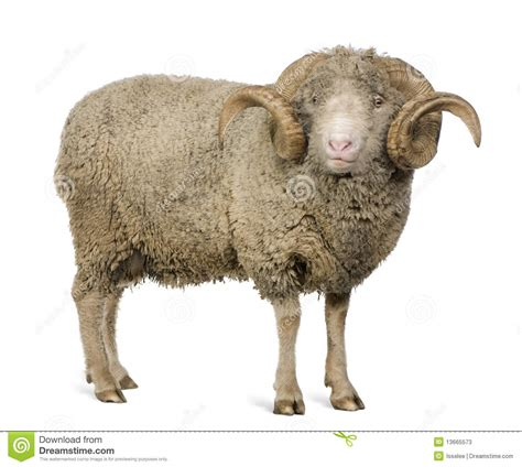 new year animal ram arles merino sheep ram 5 years stock image image