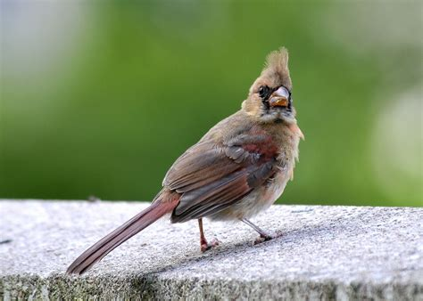 juvenile cardinal photo stan wojick photos at pbase com