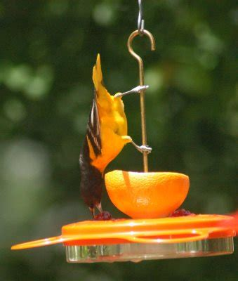 best oriole feeder for nectar jelly and fruit