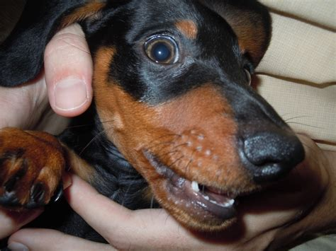 baby weiner dogs weiner quot baby teeth quot dachshunds
