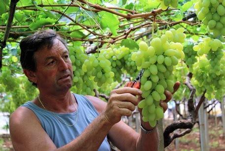 come coltivare l uva da tavola uva da tavola dove come e quando le aziende italiane