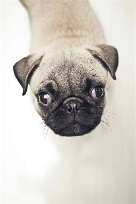 black pug names 25 best ideas about pug names on pugs black