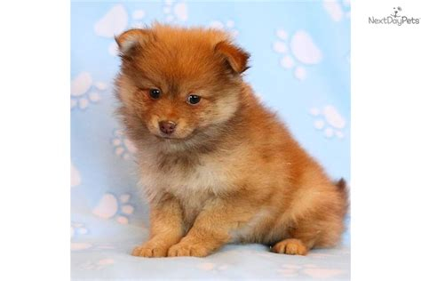 clipped pomeranian puppies for sale clipped pomeranian for sale breeds picture