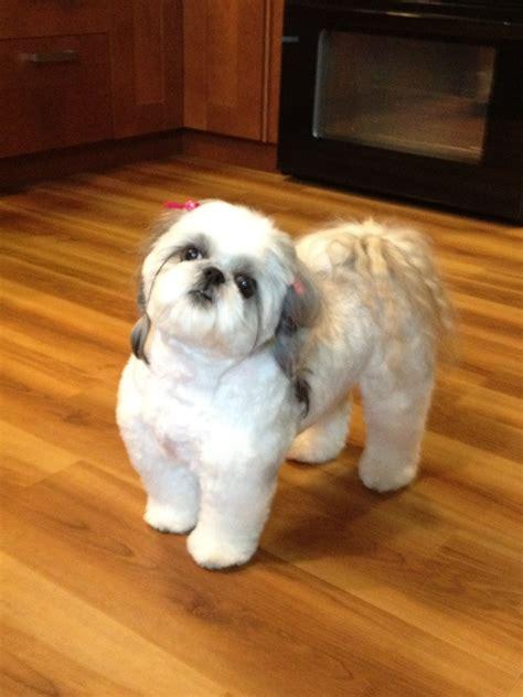 shih tzu puppy haircut shih tzu puppy cut before breeds picture