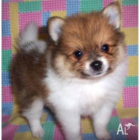 teacup pomeranian for sale sydney best 25 pomeranian puppies for sale ideas on pomeranian for sale tiny