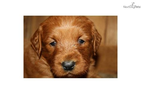mini goldendoodles south dakota goldendoodle for sale for 1 000 near sioux falls se sd