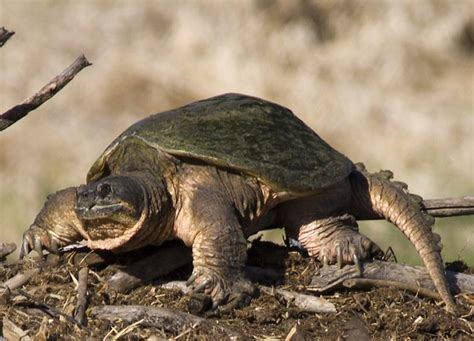 Pyramid Turtle Common world s all amazing things pictures images and wallpapers alligator snapping turtle