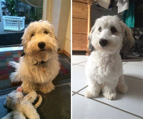 before and after haircuts for dogs 10 dogs before and after their haircuts add yours