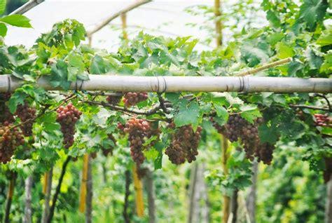 Jual Bibit Anggur Di Probolinggo herdinbisnis jual bibit anggur eksotik dan bibit