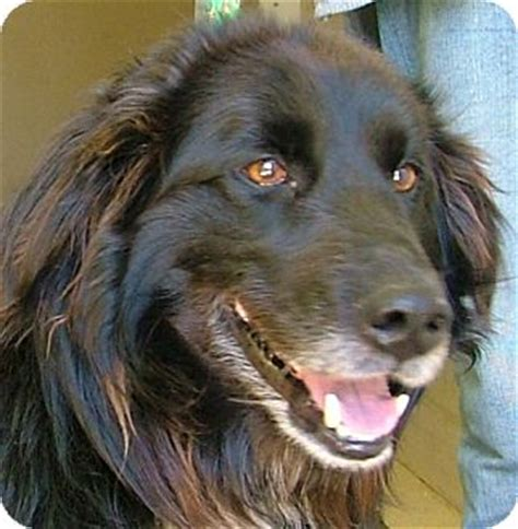 flat coated retriever golden retriever mix 301 moved permanently