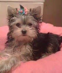 yorkies inc taunton 17 best images about my baby quot mylo quot on for dogs diy shoo and puppys