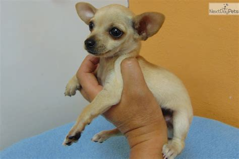 chihuahua puppies near me chihuahua puppy for sale near los angeles california ed9a2af3 c0d1