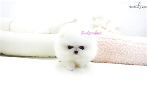 pomeranian puppy weight chart white teacup pomeranian puppy 9 weeks breeds picture