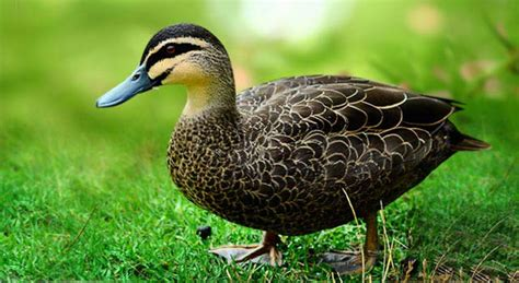 masked duck can have up to 40cm long even longer