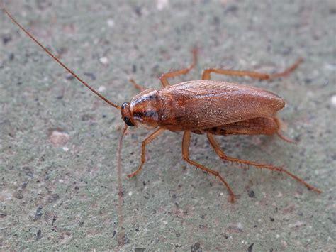 Kakerlaken Bilder by German Cockroach