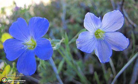 fiori di lino cresta nord resegone sentieri 582 e 8 27 e fiori di