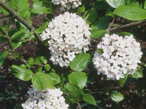 fragrant trees with white flowers a compact deciduous shrub the viburnum offers clusters of