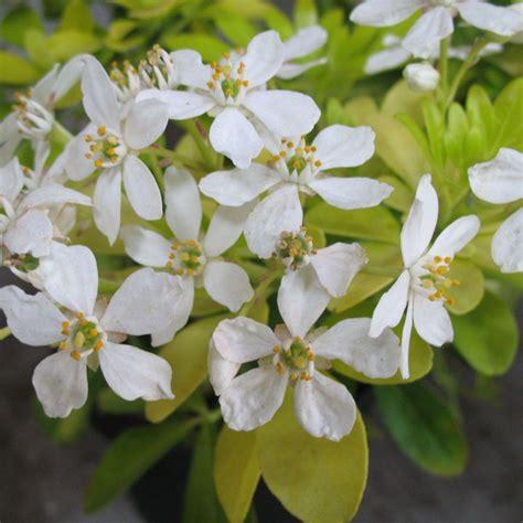 Oranger Du Mexique by Oranger Du Mexique Choisya Sundance Plantes Et Jardins