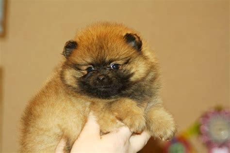 show pomeranian puppies for sale pomeranian puppy for sale show class east pets4homes