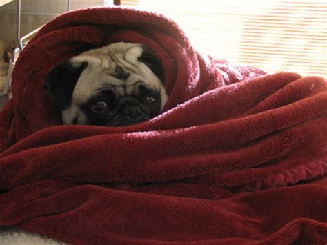 1000 images about pugs in a blanket on a pug
