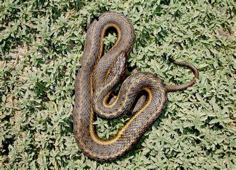 Garden Snake Diet Garter Snake Modeling And Monitoring Conservation