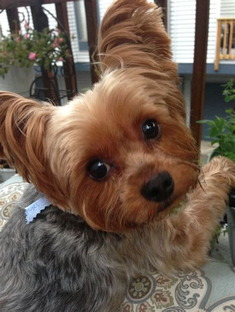 yorkshire terrier blond photos hairstyle gallery best 25 yorkshire terrier haircut ideas on pinterest