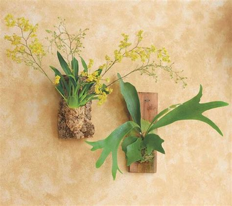 Lifelike White Phalaenopsis Orchids With Staghorn Ferns Viva Terra Cork Mounted Oncidium Twinkle A Tiny Orchid