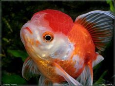 Nucover Tropical Flamingo most beautiful fishes goldfish fish and aquariums