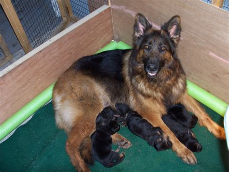 brown german shepherd puppies black and brown german shepherd puppies www pixshark images galleries with a bite