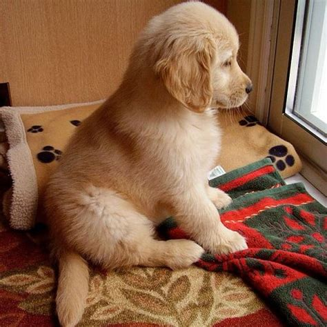 how fast can a golden retriever run 122 best images about baby golden retrievers on