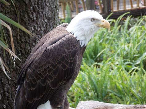 facts about eagles molting http www discoverlife org mp