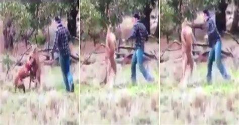 kangaroo with in headlock kangaroo in australia gets in a headlock confronts kangaroo and