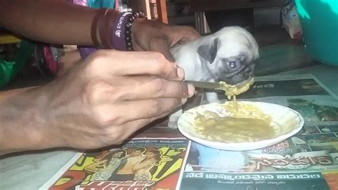 pug puppy feeding pug food chart best food for pugs 2018 how to feed what to feed pugs