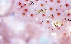 images of cherry blossoms wallpapers cherry flowers wallpapers