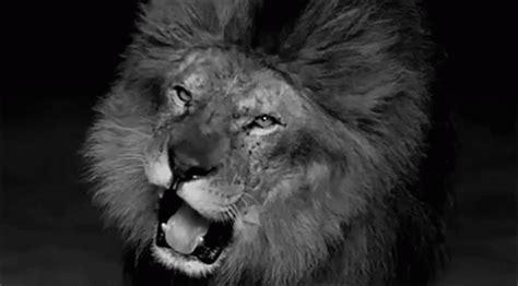 lion gif  gif images