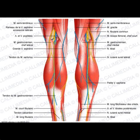 tendons in the knee diagram diagram of knee muscles and tendons anatomy organ