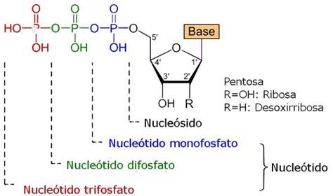 ester fosforico nuestro manual de instrucciones los 225 cidos nucleicos