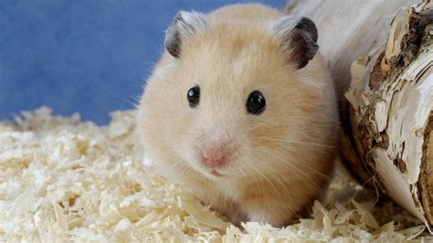 hamster mobile hamster wallpaper android phones 10671 wallpaper cool