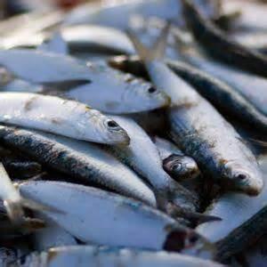 Minyak Ikan Lemuru ikan lemuru untuk ibu bimbingan