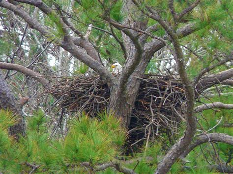 Norfolk Botanical Garden Eagles Bald Eagle Nest At The Norfolk Botanical Gardens I Got Thi Flickr
