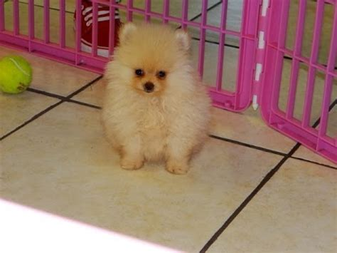 pomeranian breeders va pomeranian puppies dogs for sale in virginia virginia va 19breeders