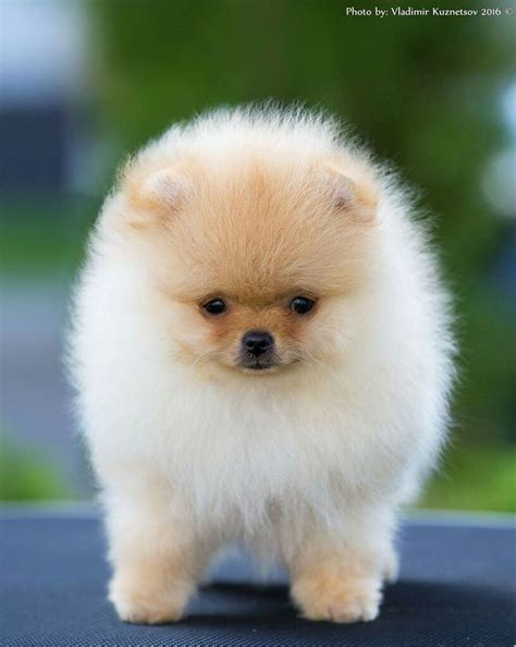 pomeranian doll 1000 ideas about pomeranian on teacup pomeranian pomeranian puppy