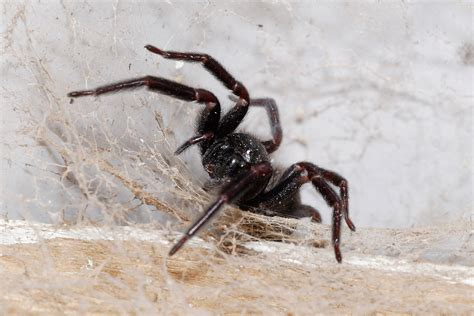 spider house giant house spider the life of animals