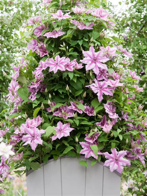 hardest flower to grow how to grow flowering vines in containers hgtv