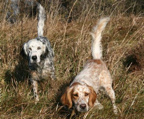 llewellin setter dog breeders breed profile the llewellin setter gun dog magazine