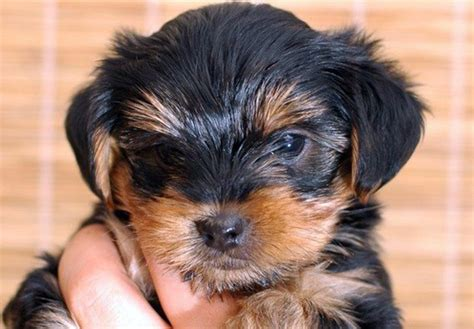 how to clean yorkie ears you need to take adequate steps to treat yorkie ear infection