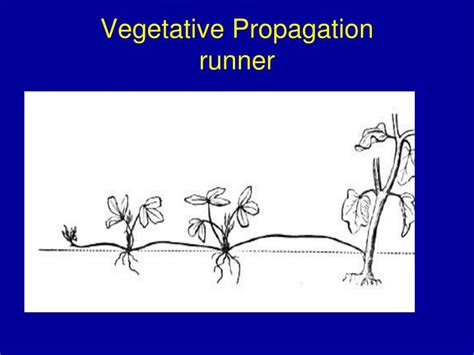 exles of vegetative propagation by roots ppt how do organisms grow powerpoint presentation id